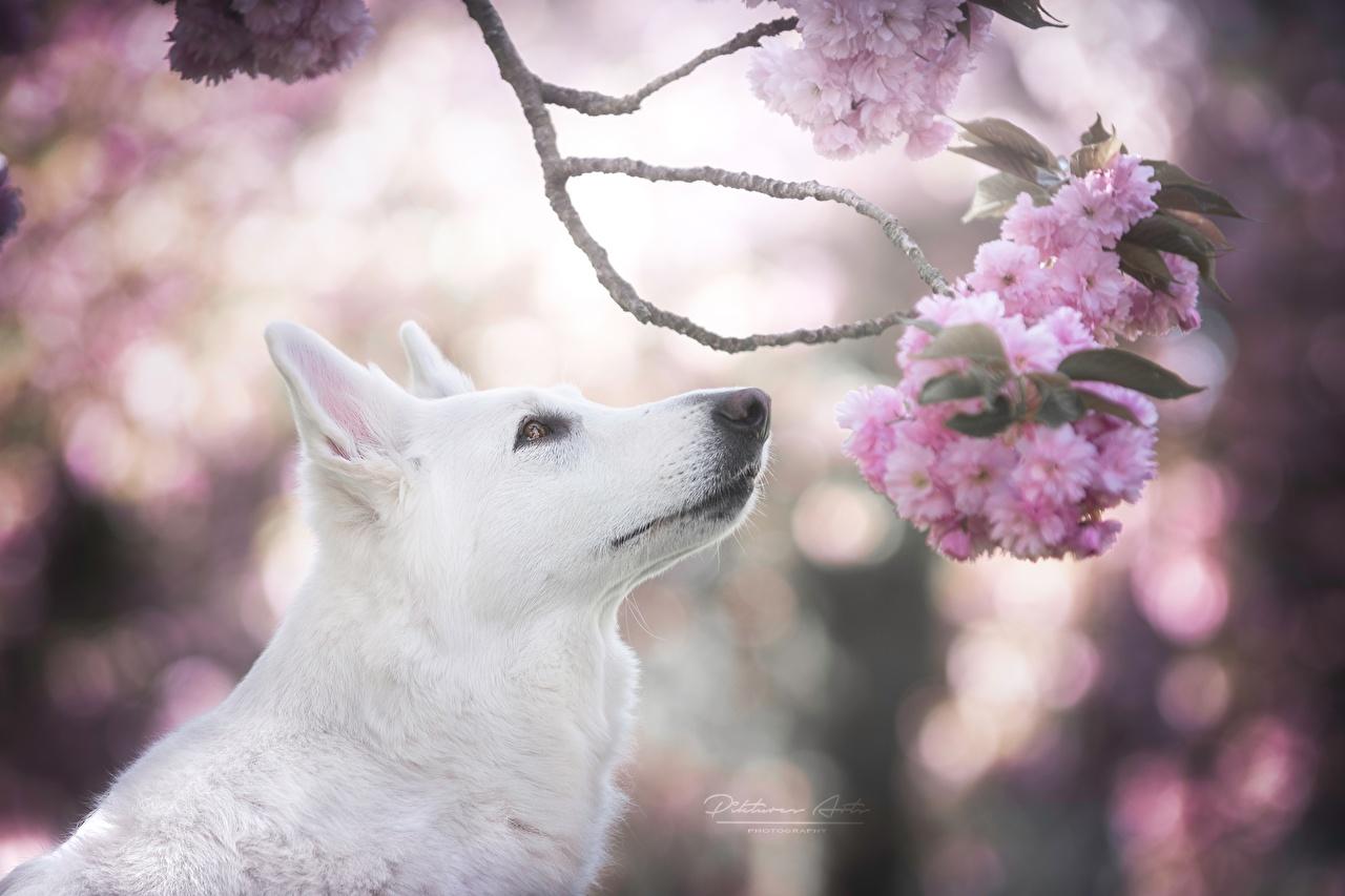 Фотографии Овчарка Собаки Сакура Berger Blanc Suisse Белый Ветки Животные ветвь