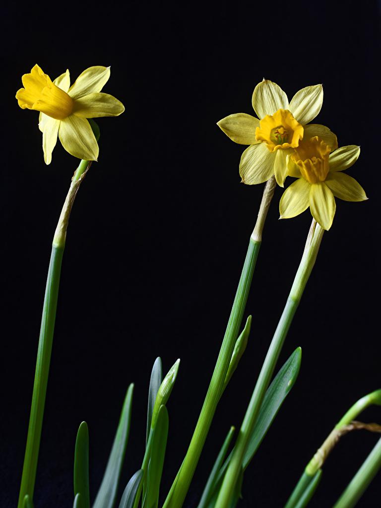 Обои для рабочего стола цветок Нарциссы втроем на черном фоне Крупным планом  для мобильного телефона Цветы три Трое 3 вблизи Черный фон