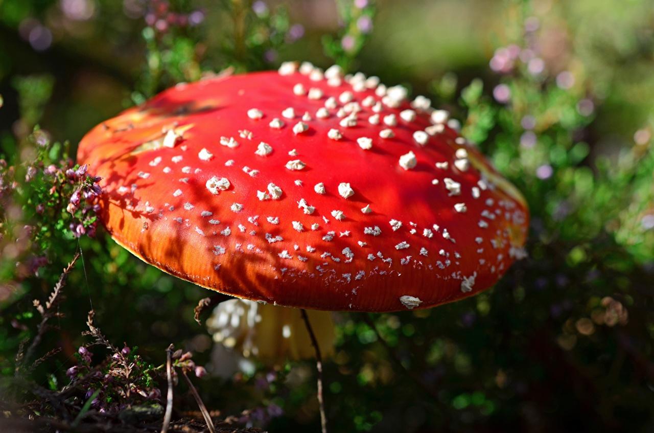 Фотография Природа Красный Мухомор Грибы природа красных красные красная