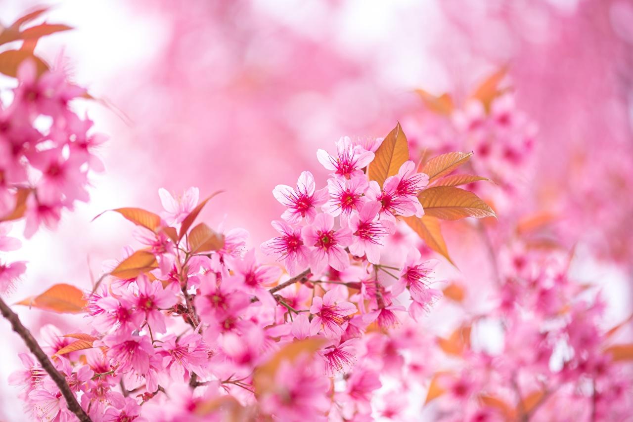 Фотографии Сакура розовых цветок на ветке Крупным планом сакуры розовая розовые Розовый Цветы ветвь ветка Ветки вблизи
