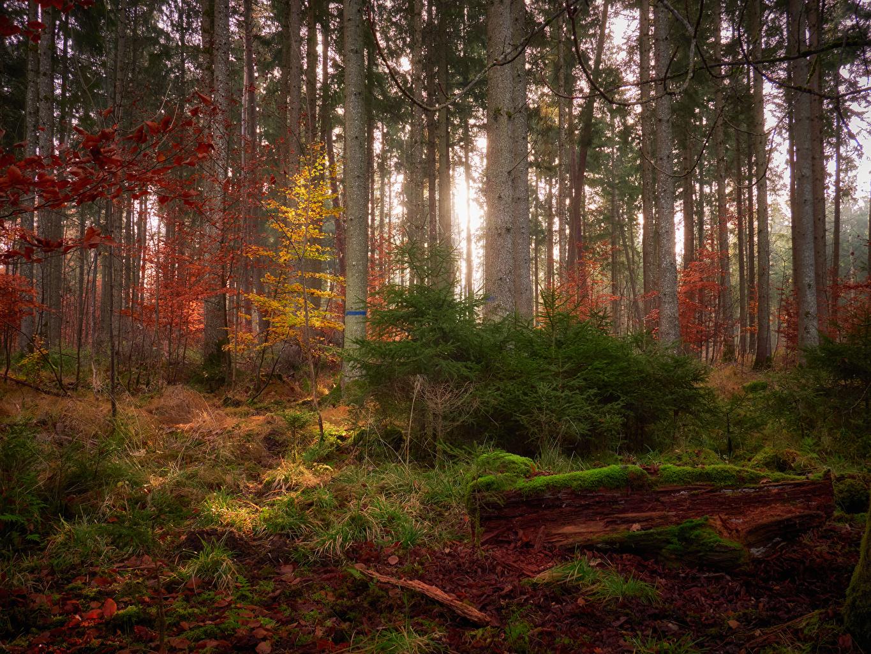 Обои для рабочего стола Осень Природа Леса мха дерева осенние лес Мох мхом дерево Деревья деревьев
