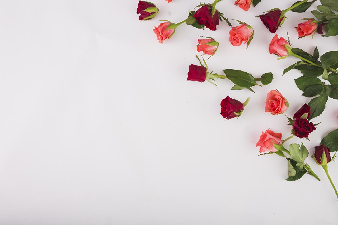 Фотография Розы цветок Цветной фон роза Цветы