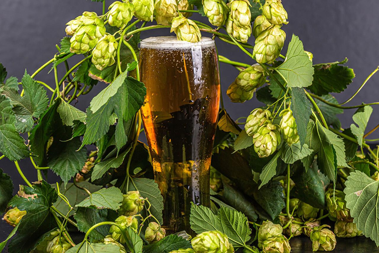Фотография Пиво Хмель Стакан Ветки Продукты питания стакане стакана Еда Пища ветвь ветка на ветке