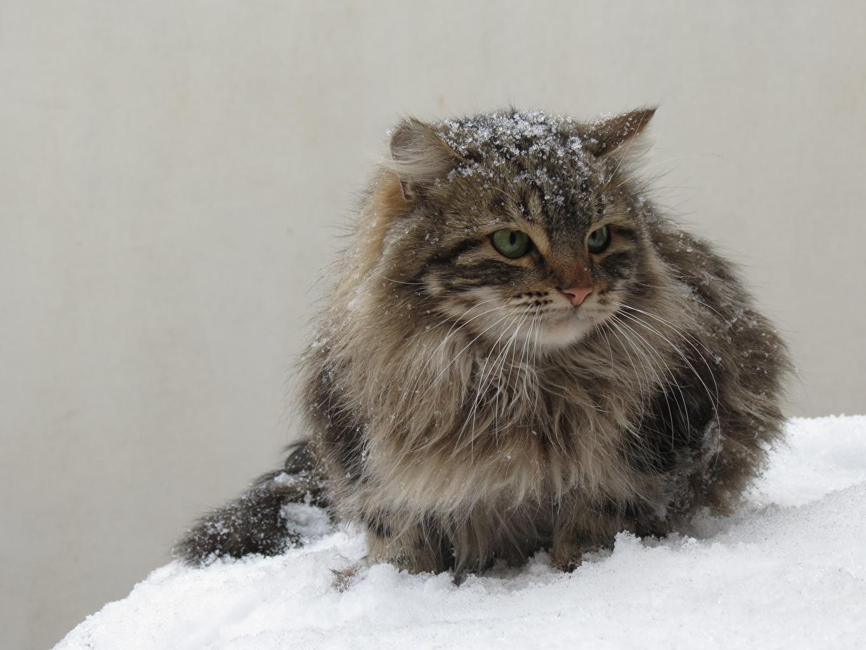 Фотографии коты Пушистый снега Животные кот кошка Кошки пушистые пушистая Снег снеге снегу животное