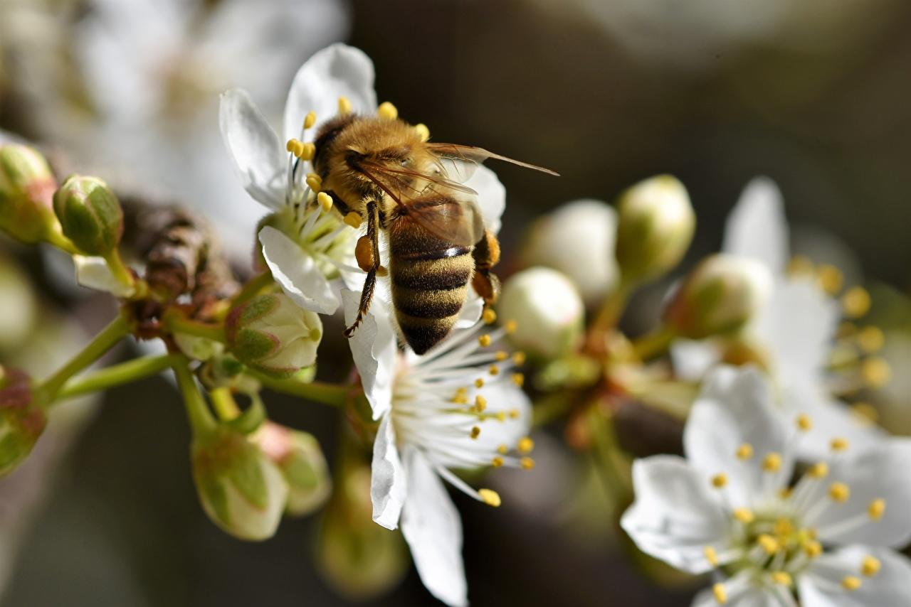 Обои для рабочего стола Пчелы Насекомые боке вблизи Животные насекомое Размытый фон животное Крупным планом