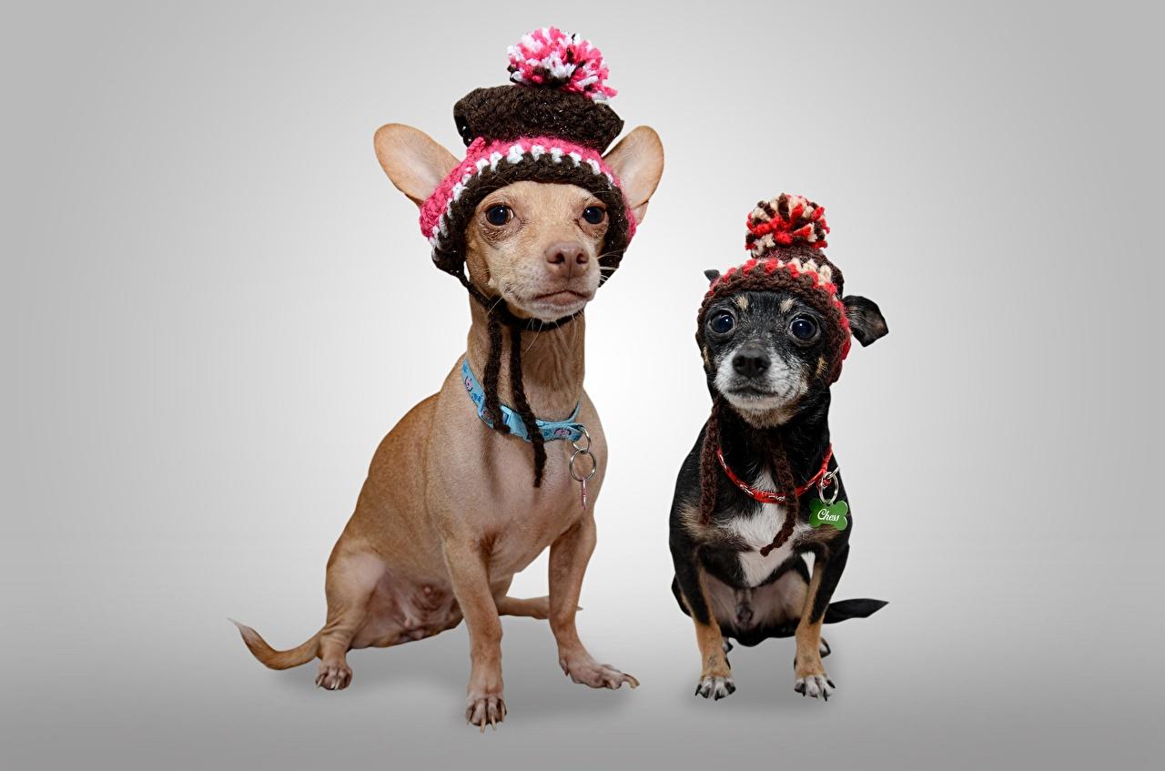 Фотографии Чихуахуа собака два Шапки Взгляд животное Серый фон Собаки 2 две Двое шапка вдвоем в шапке смотрят смотрит Животные сером фоне
