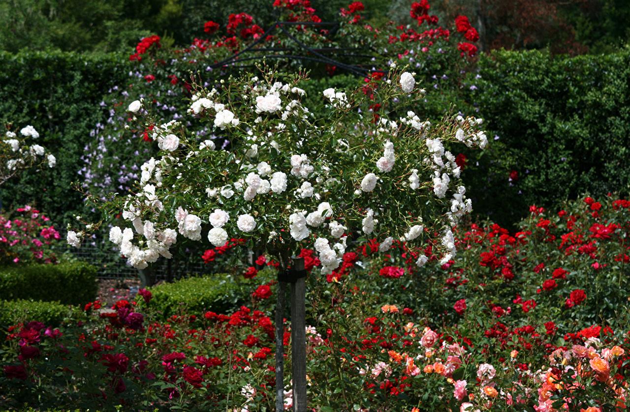 Фотографии Великобритания Rosemoor Gardens Розы Сады цветок Много роза Цветы