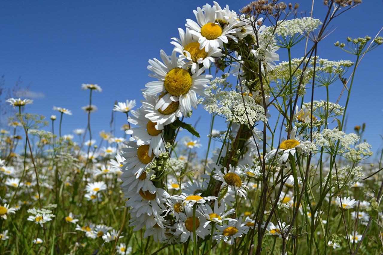 Картинка Венок Цветы Ромашки венком цветок ромашка