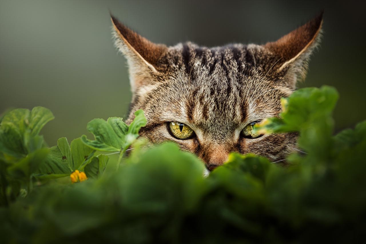 Картинка Кошки морды Взгляд Животные кот коты кошка Морда смотрит смотрят животное