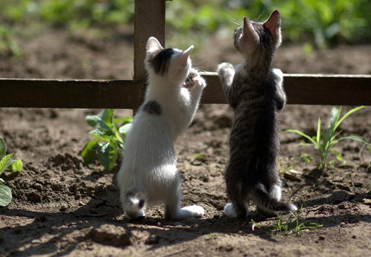 Картинка котенок кот Двое забора вид сзади животное котят Котята котенка коты кошка Кошки 2 два две вдвоем Забор ограда забором Сзади Животные