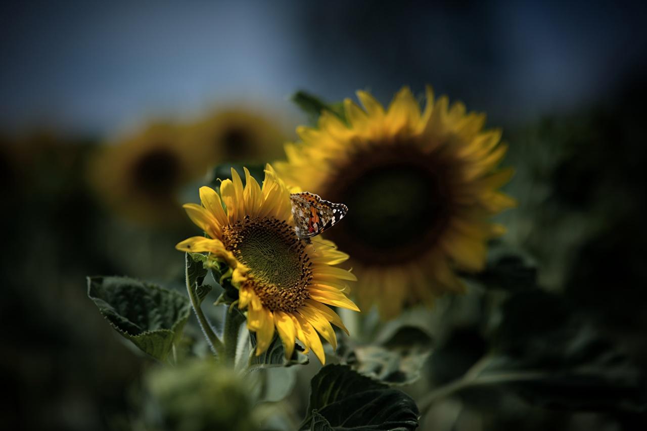 Картинки Бабочки боке желтая Подсолнухи Животные бабочка Размытый фон Желтый желтые желтых Подсолнечник животное