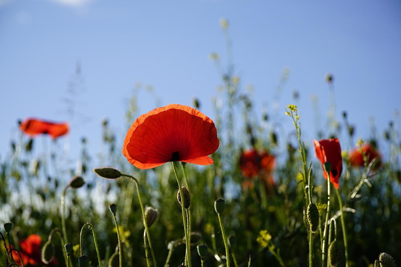 Фотография Размытый фон Красный мак Цветы Бутон боке красная красные красных Маки цветок