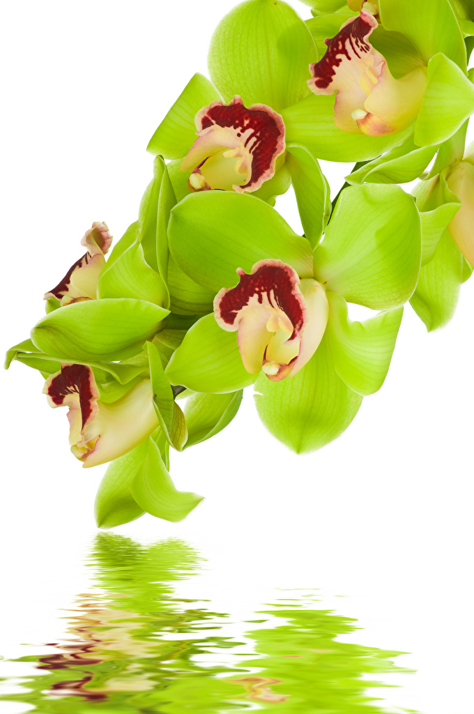 Фотография орхидея Цветы Вода Белый фон Крупным планом Орхидеи цветок воде вблизи белом фоне белым фоном
