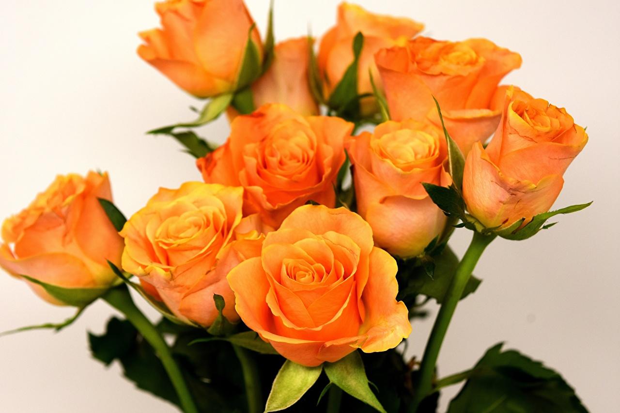 Картинки Розы Оранжевый Цветы Крупным планом вблизи