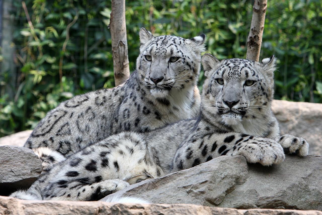 Фото Барсы Лежит две Лапы Камень Взгляд Животные Ирбис лежа лежат лежачие 2 два Двое вдвоем лап Камни смотрит смотрят животное