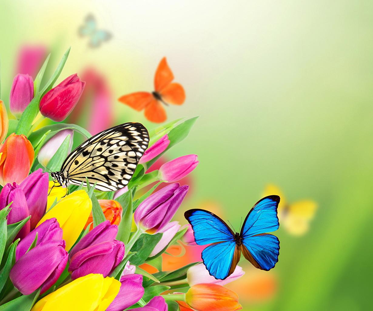 Картинка бабочка тюльпан Цветы Животные Бабочки Тюльпаны цветок животное
