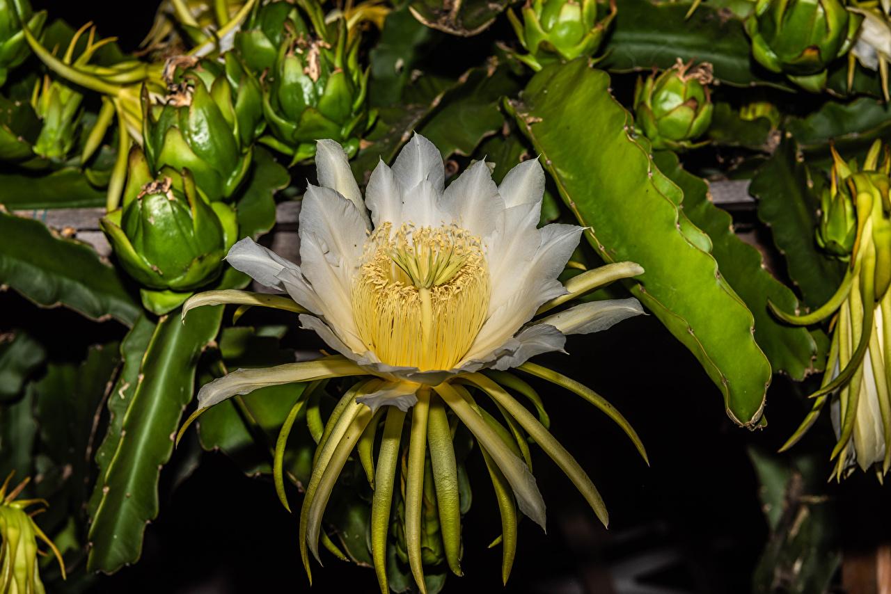 Обои для рабочего стола белые Цветы Кактусы вблизи белая Белый белых цветок Крупным планом