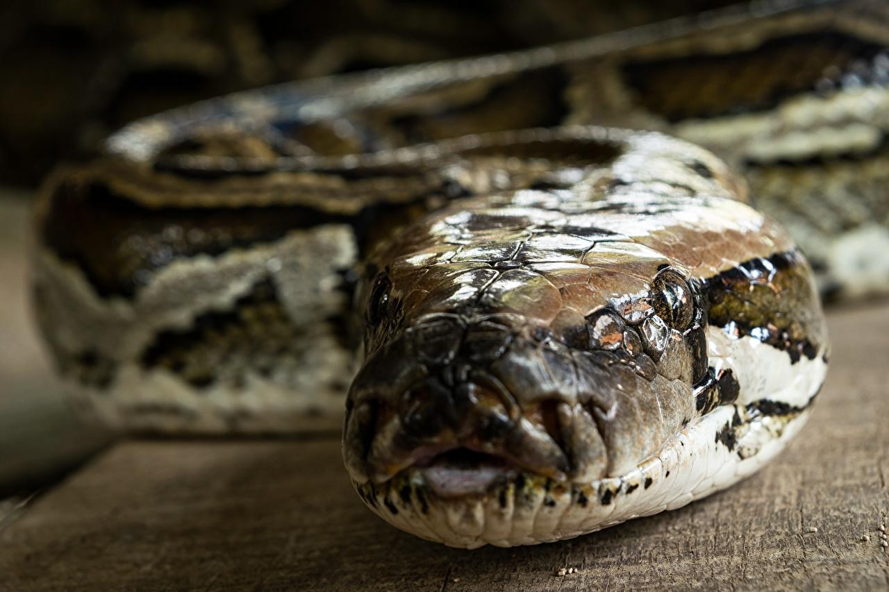 Обои для рабочего стола змея боке вблизи головы животное Змеи Размытый фон Голова Животные Крупным планом