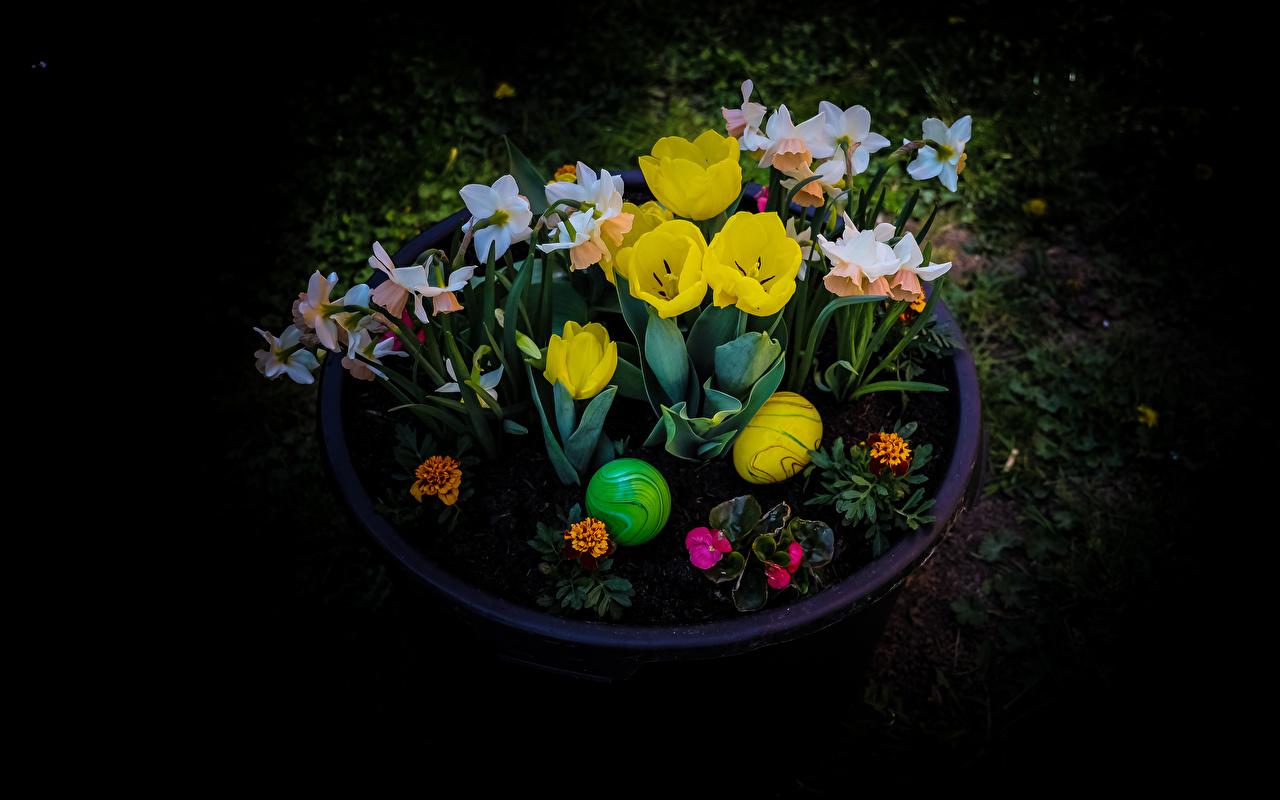 Фото Пасха яйцо тюльпан цветок Нарциссы Черный фон яиц Яйца яйцами Тюльпаны Цветы на черном фоне