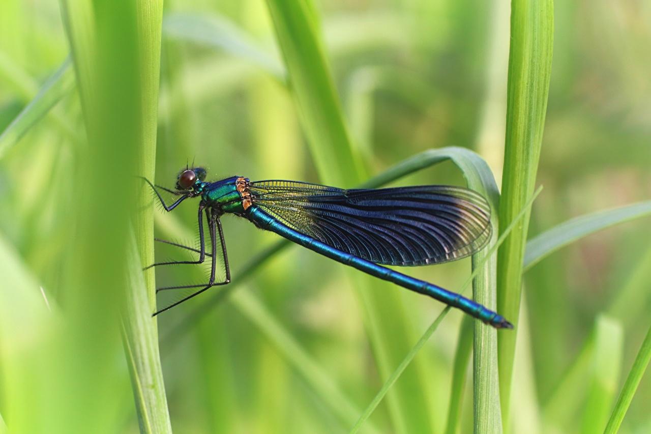 Картинка Стрекозы Насекомые боке вблизи животное насекомое Размытый фон Животные Крупным планом