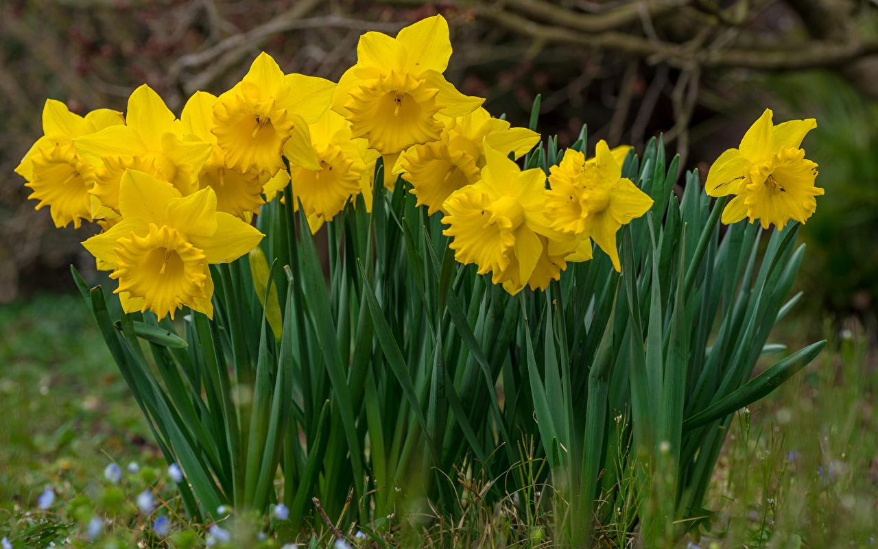 Картинка желтых цветок Нарциссы Крупным планом Желтый желтые желтая Цветы вблизи