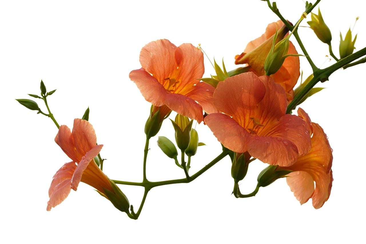Картинки оранжевых Цветы Капли Кампсис вблизи Белый фон Оранжевый оранжевые оранжевая капля капель цветок капельки белом фоне белым фоном Крупным планом
