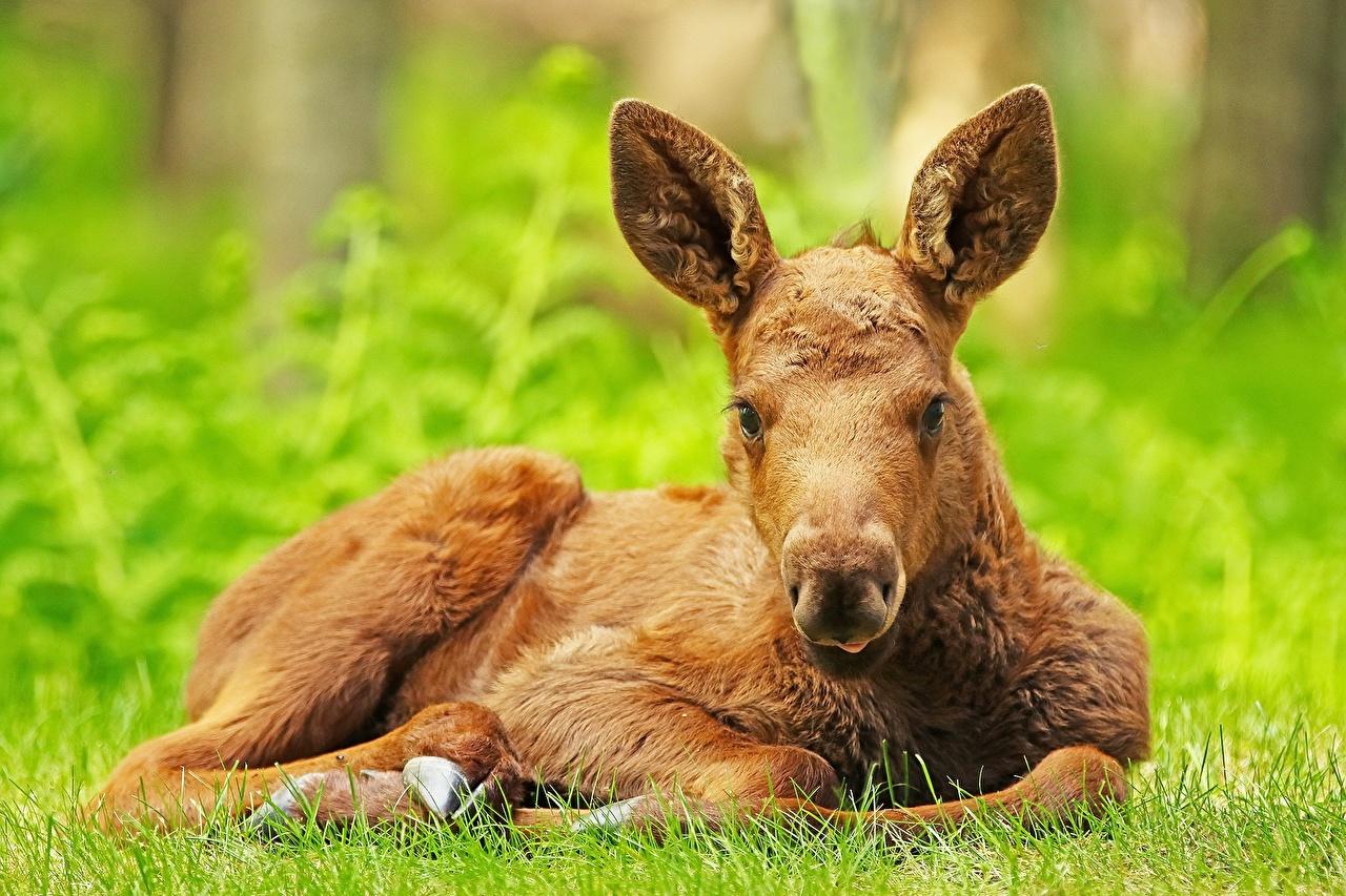 Картинки Лоси Детеныши лежат Животные лежа Лежит лежачие животное