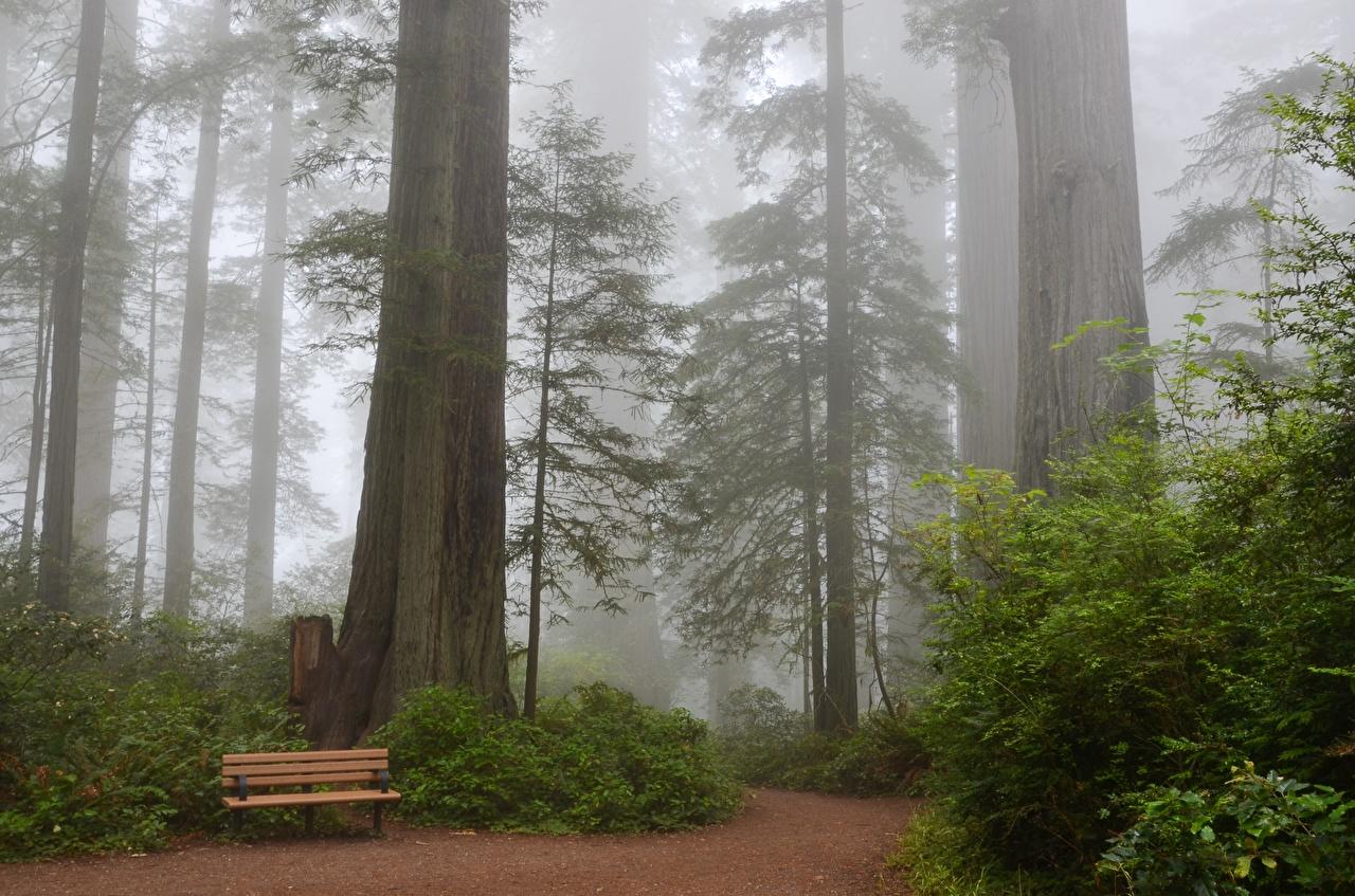 Фотография Калифорния США Sequoia тумана Природа Парки Скамейка Деревья калифорнии штаты Туман тумане парк Скамья дерево дерева деревьев