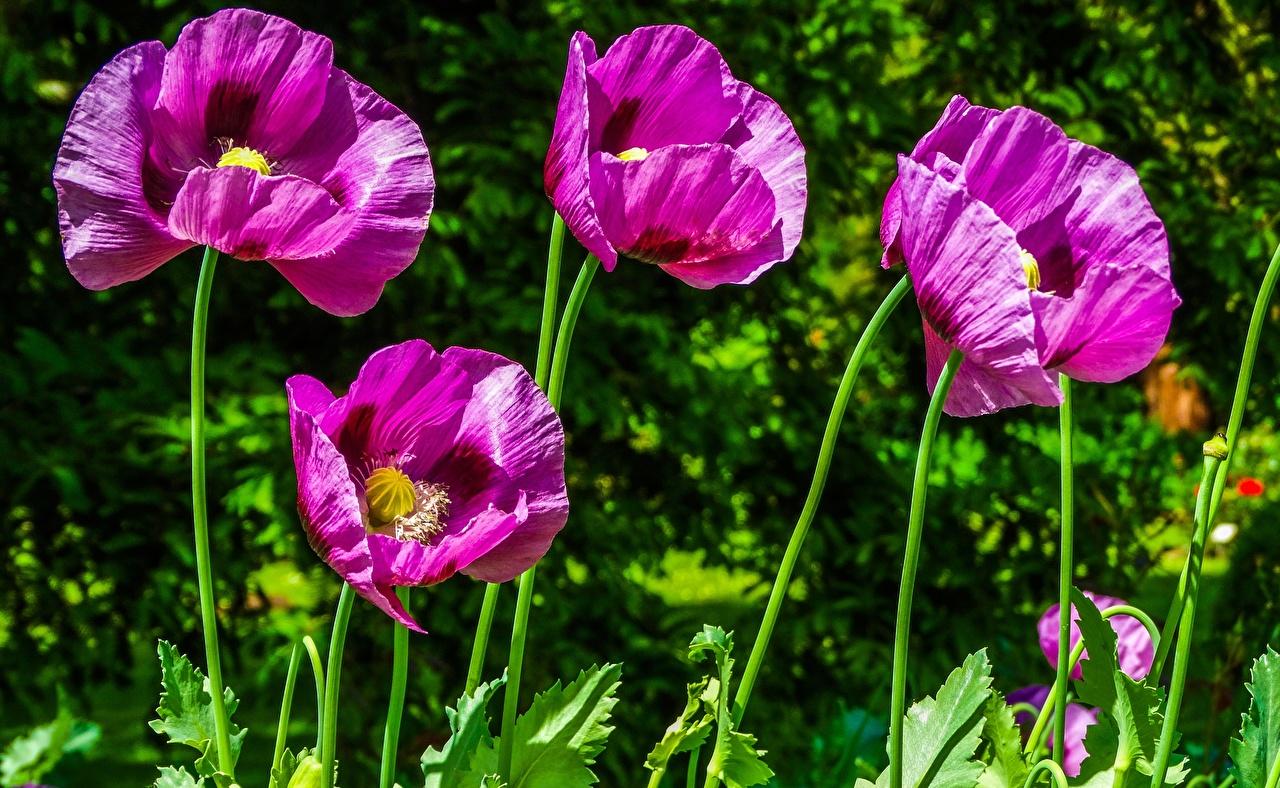 Картинка фиолетовых Маки цветок вблизи Фиолетовый фиолетовые фиолетовая мак Цветы Крупным планом