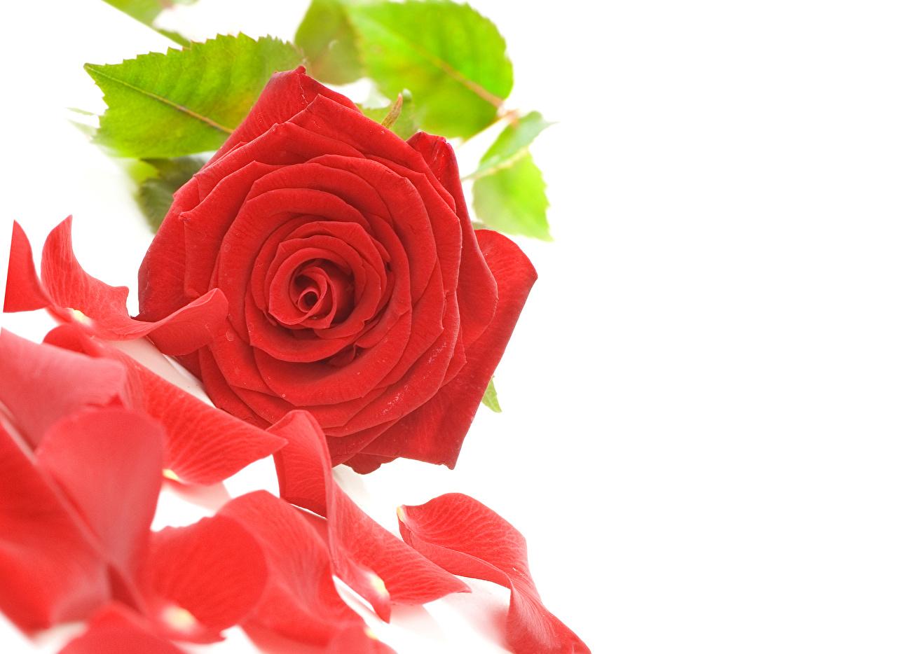 Фотография Розы красные Лепестки Цветы белым фоном Крупным планом красных Красный красная лепестков вблизи Белый фон белом фоне