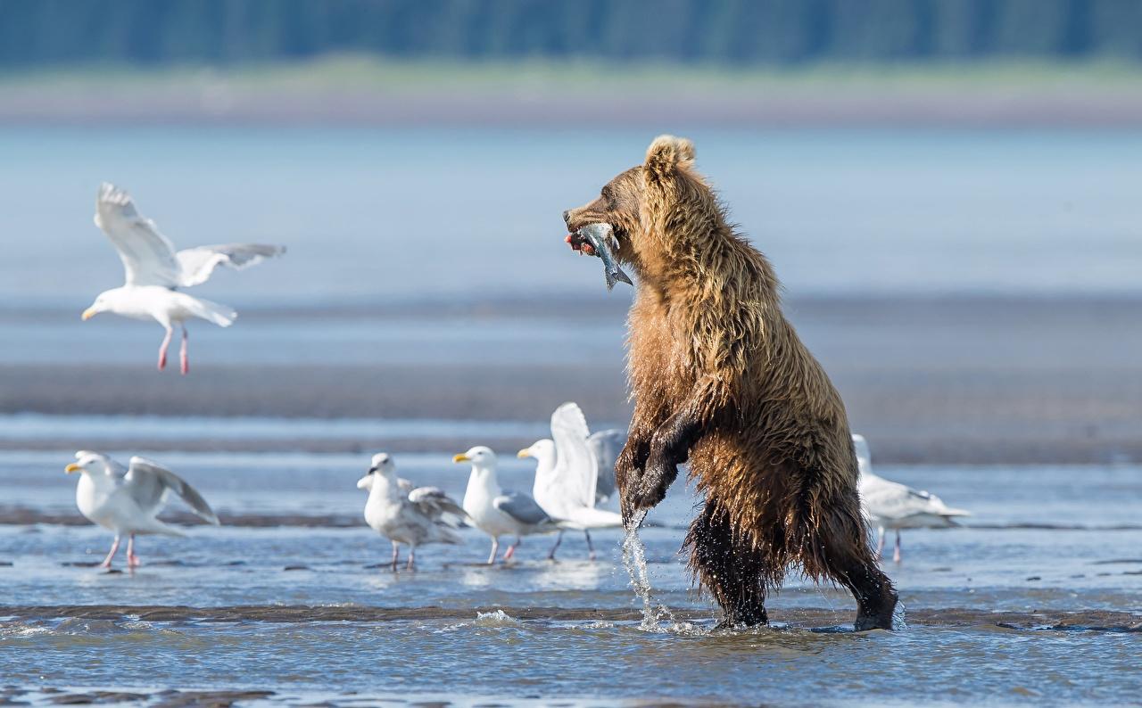 Картинка Гризли Рыбы Чайка Медведи охоте влажные животное Бурые Медведи чайки медведь Охота охотится Мокрые Животные