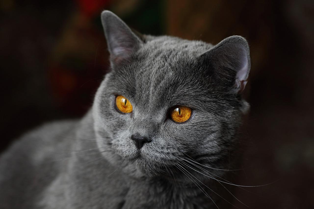 Фотография Британская короткошёрстная кот Серый морды смотрит животное коты кошка Кошки серая серые Морда Взгляд смотрят Животные