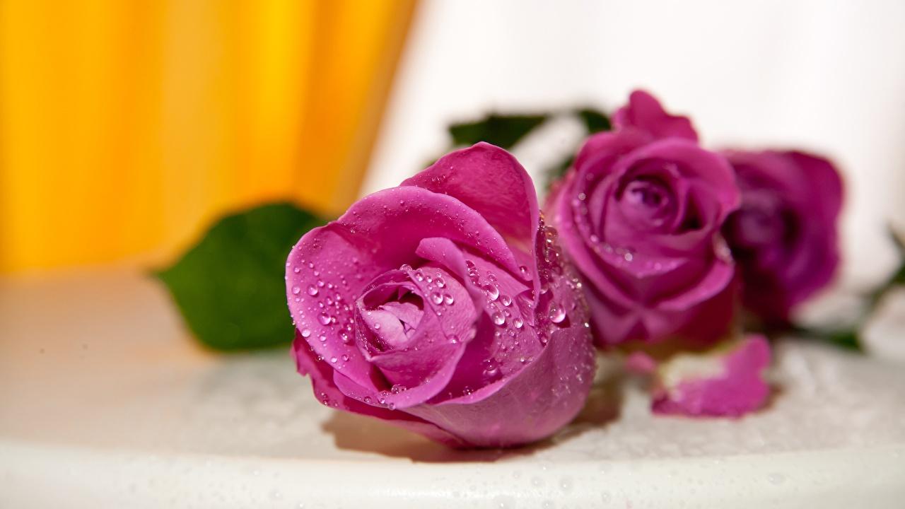 Обои для рабочего стола роза Розовый Цветы капель Крупным планом Розы розовая розовые розовых капля Капли цветок капельки вблизи