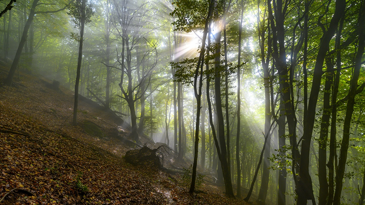 Картинки Лучи света Листва тумана Осень Природа дерево лист Листья Туман тумане осенние дерева Деревья деревьев
