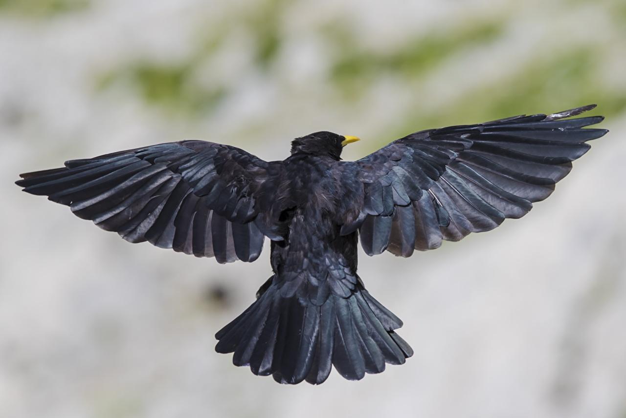 Фотография Птицы Крылья Размытый фон черные Сзади Животные птица боке черная Черный черных вид сзади животное