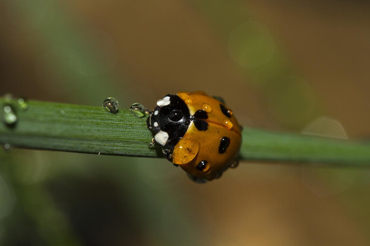Фото Божьи коровки насекомое боке Капли вблизи животное Насекомые Размытый фон капля капель капельки Животные Крупным планом