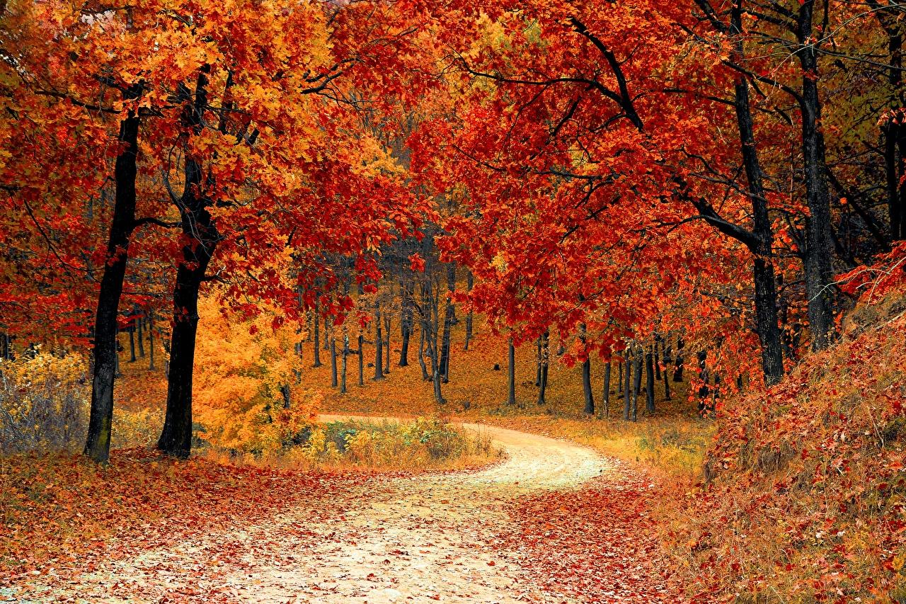 Картинка Листья Осень Природа Леса Дороги Деревья лист Листва осенние дерево дерева деревьев