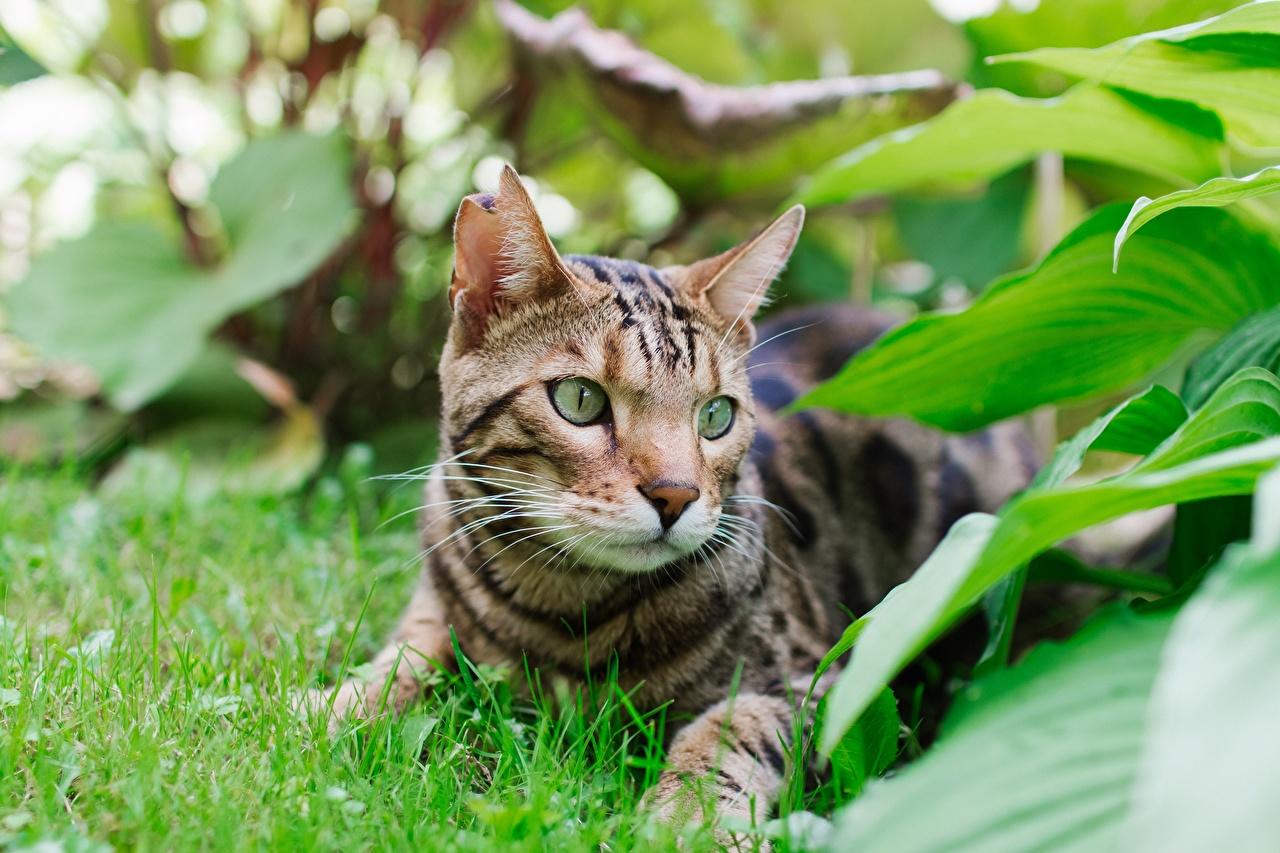 Фото Бенгальская кошка Кошки Листва лежа Трава Взгляд Животные кот коты кошка лист Листья Лежит лежат лежачие траве смотрит смотрят животное