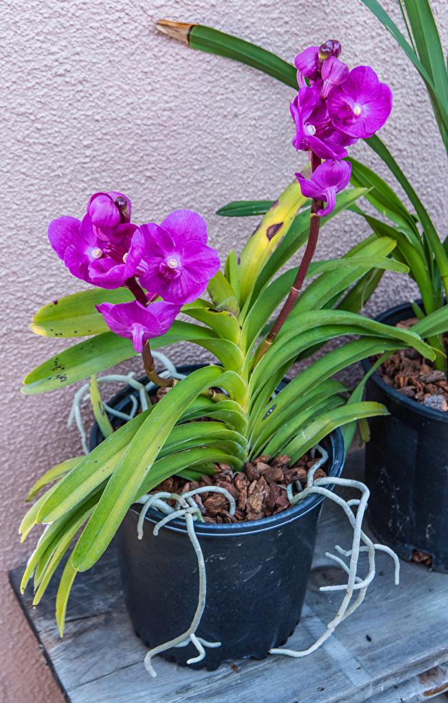 Фотографии Орхидеи фиолетовая Цветочный горшок цветок  для мобильного телефона орхидея Фиолетовый фиолетовые фиолетовых Цветы