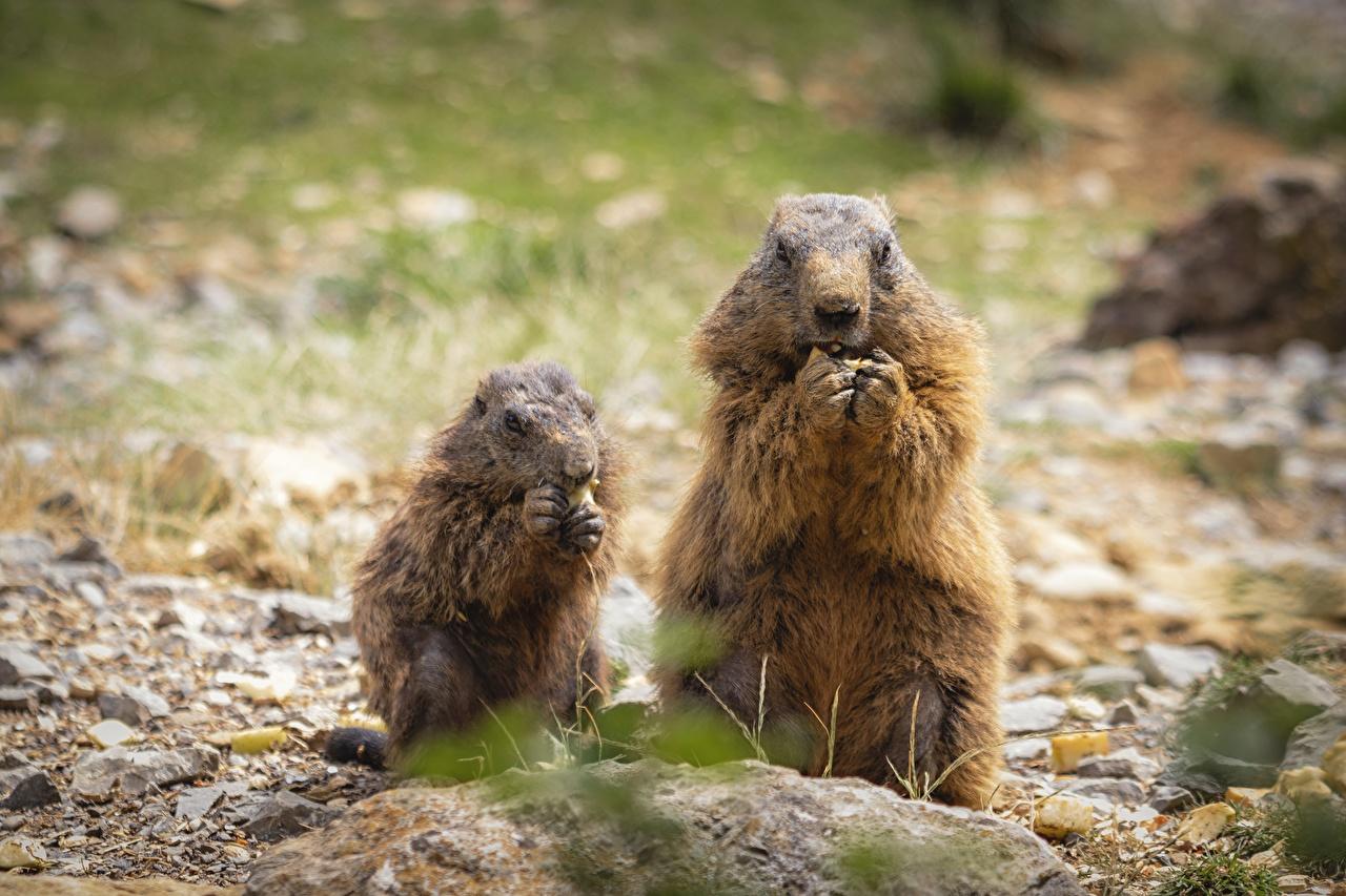 Фото Сурок Размытый фон Ест 2 Животные сурки боке кушает два две Двое вдвоем животное