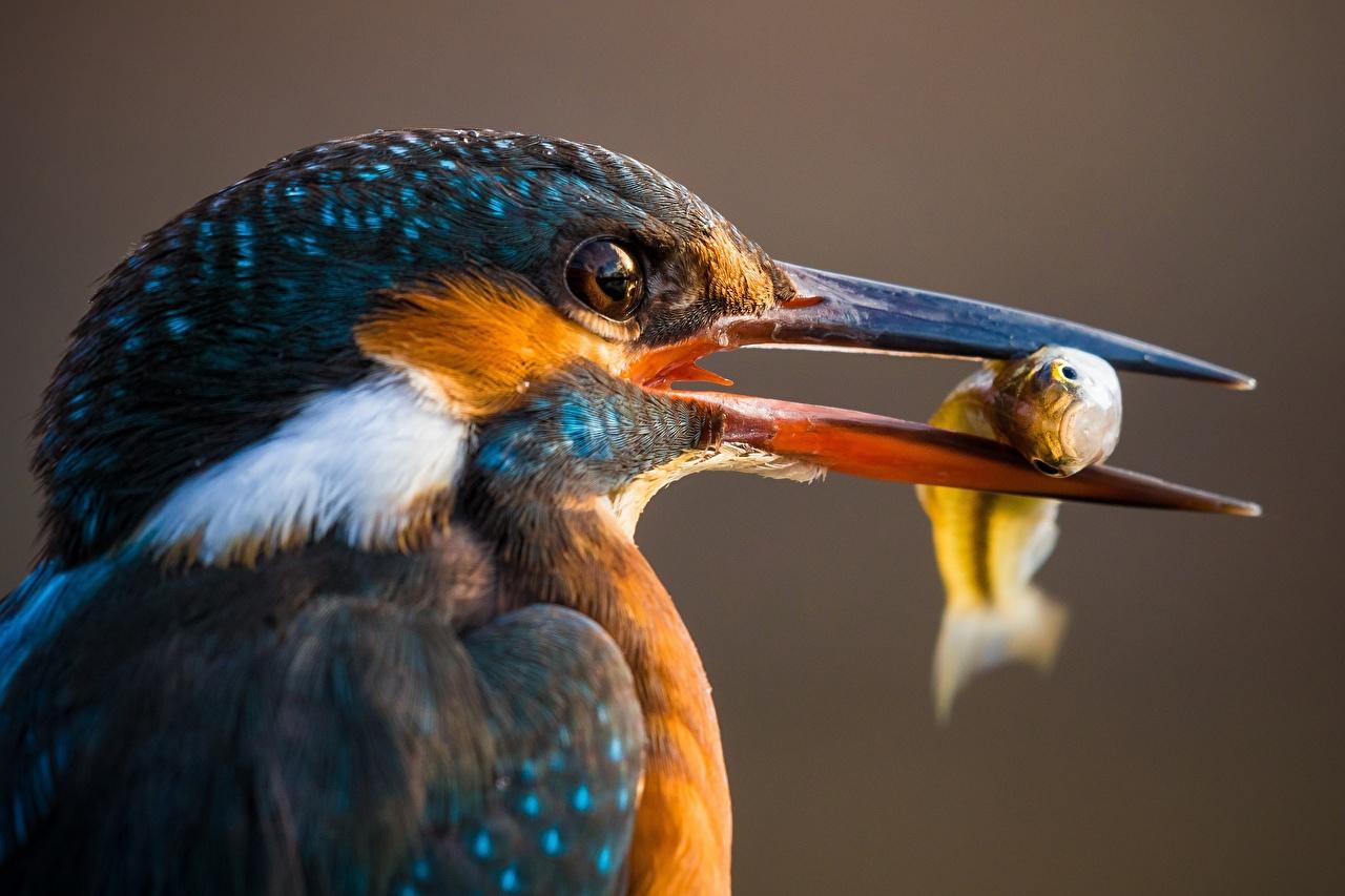 Картинка Обыкновенный зимородок Птицы Клюв Рыба Голова Животные