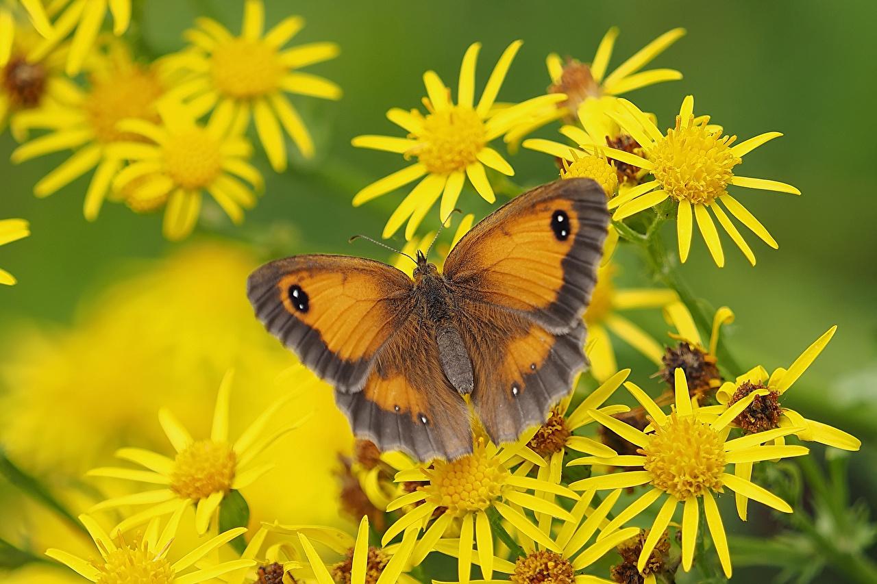Фотографии Бабочки Gatekeeper Животные бабочка животное