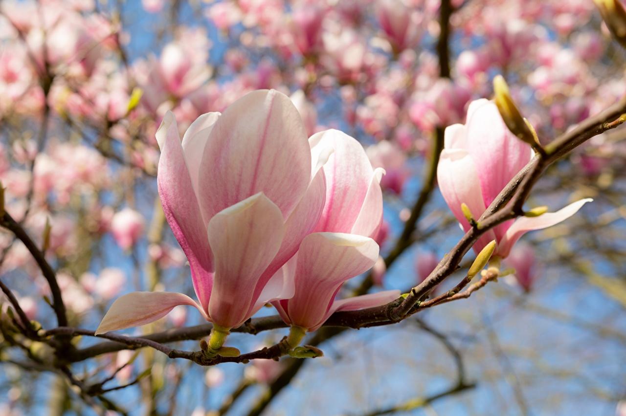 Фотографии Весна розовых цветок Магнолия ветвь Крупным планом Розовый розовые розовая весенние Цветы Ветки ветка на ветке вблизи
