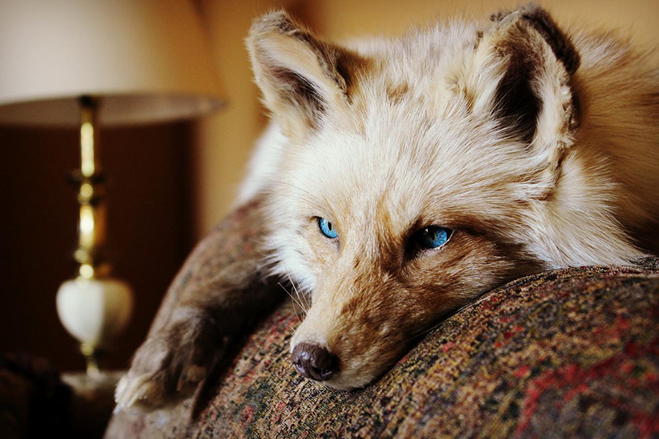 Фотографии Лисы Морда Взгляд Животные Лисица морды смотрит смотрят животное
