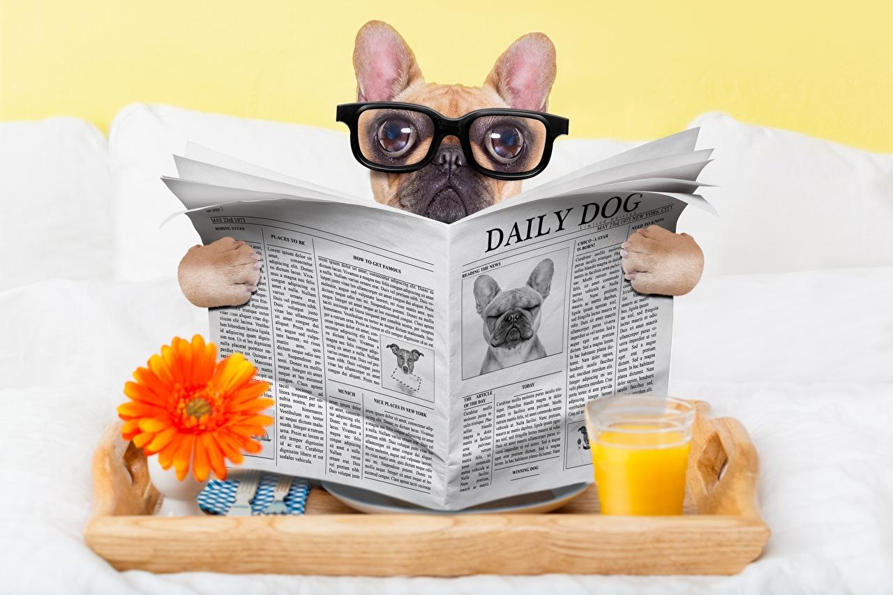 Обои для рабочего стола бульдога Собаки Газета Смешные Очки Взгляд животное Бульдог собака газеты газетой смешной смешная забавные очков очках смотрит смотрят Животные