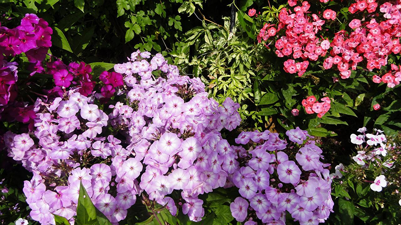 Фотография Флоксы цветок Много Цветы