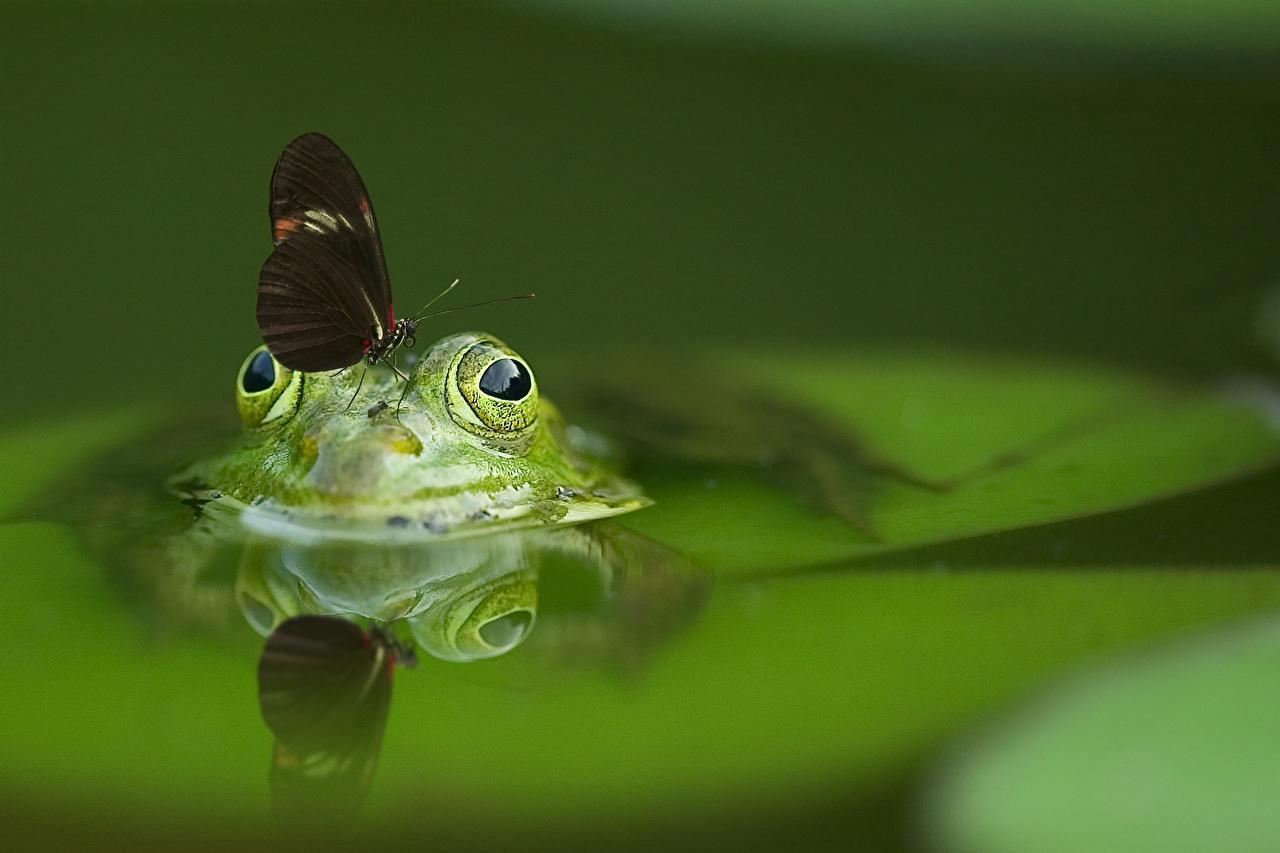Фотография Лягушки Бабочки Отражение Животные