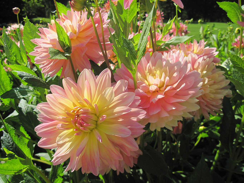 Фото Розовый Цветы Георгины Крупным планом розовая розовые розовых цветок вблизи