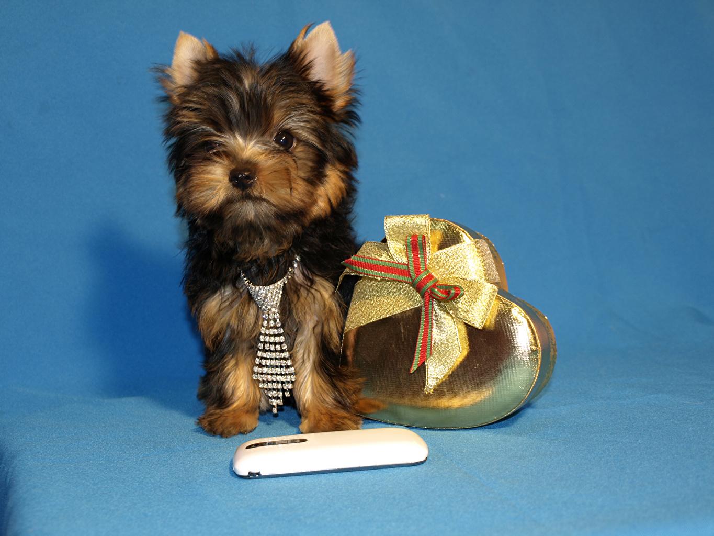 Картинка Щенок Йоркширский терьер Собаки Сердце Галстук Бантик Животные Цветной фон сердечко