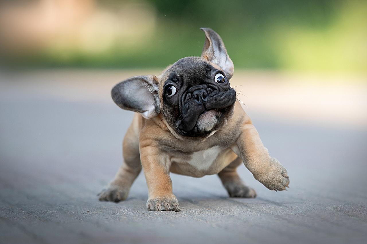 Фотографии щенки бульдога собака боке смешной животное Щенок щенка щенков Бульдог Собаки Смешные смешная забавные Размытый фон Животные